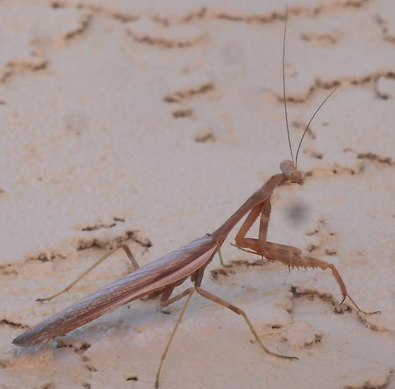 Praying Mantis - Stagmomantis limbata - male