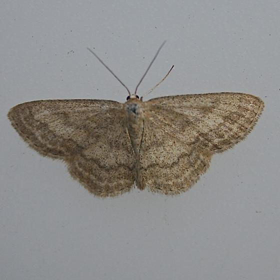 Scopula sp. maybe