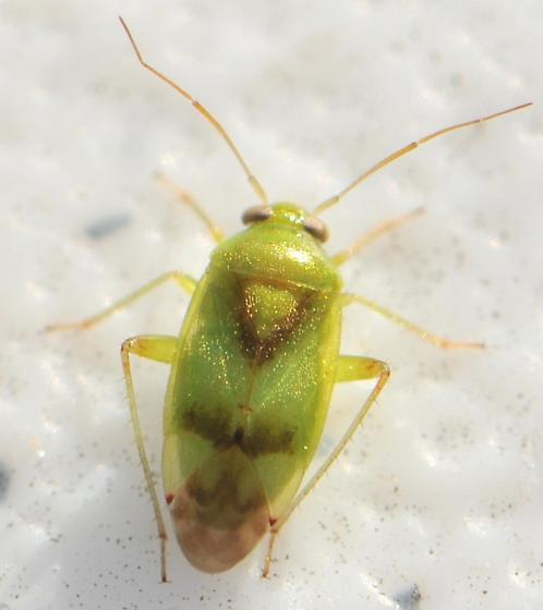 Small Green Plant Bug - Dagbertus fasciatus