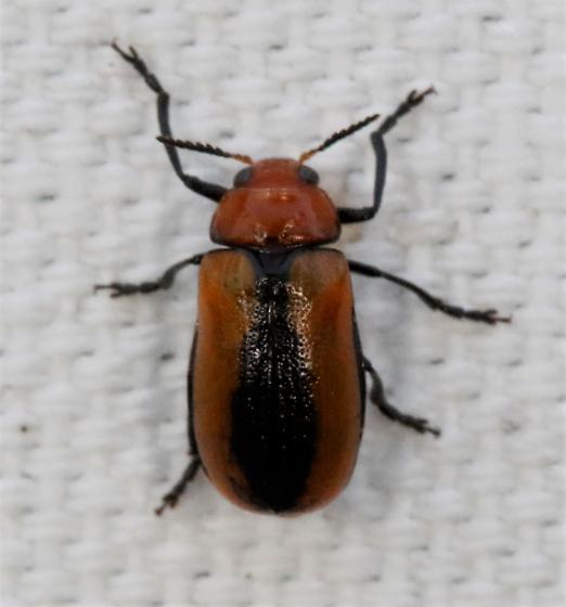 Unk beetle - Anomoea