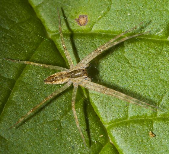 Nursery Web - Pisaurina mira