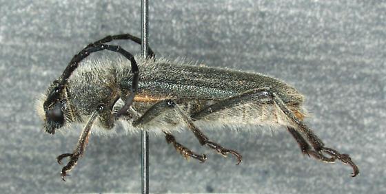 Crossidius movajensis Linsley, 1955 - Crossidius mojavensis - female