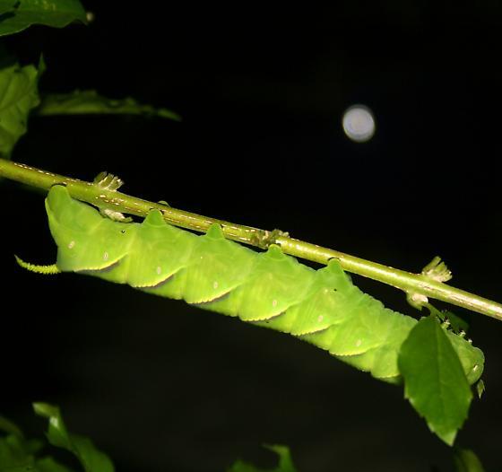 Green Night Monster - Manduca rustica