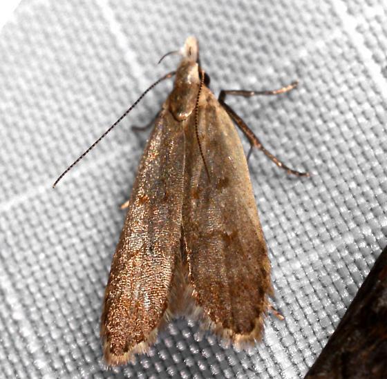 Dichomeris - Dichomeris punctidiscella