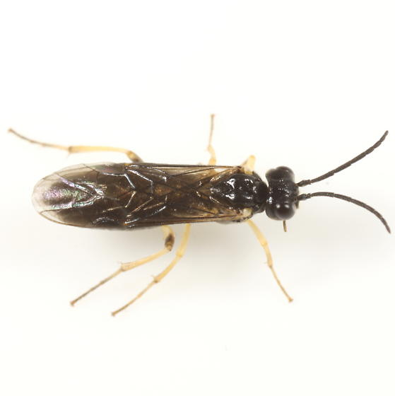 Sawfly on the window - Ametastegia pallipes