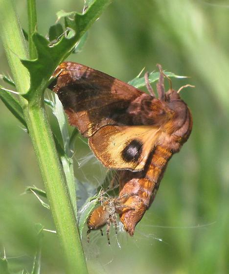 Paonia myops? (Being eaten by jumping spider) - Paonias myops