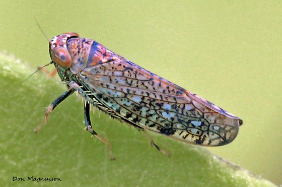 Leafhopper ? - Orientus ishidae