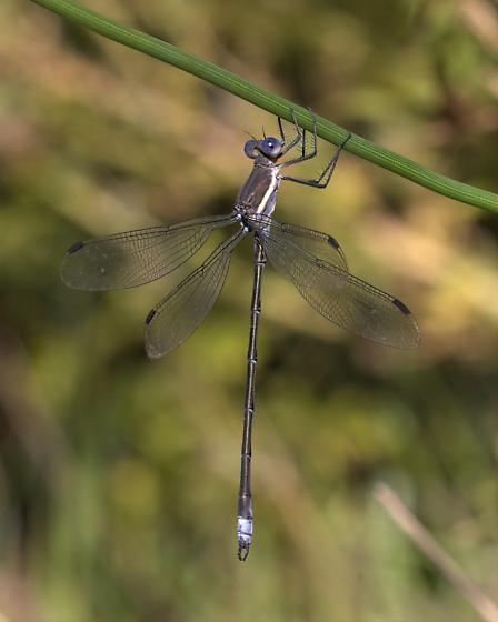 Lincoln Great Spreadwing