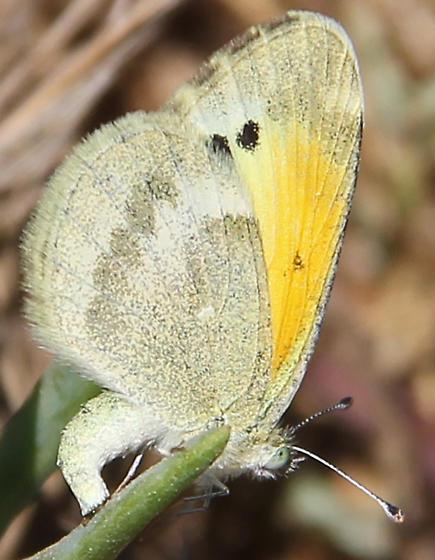 Dainty Sulphur - Nathalis iole - female