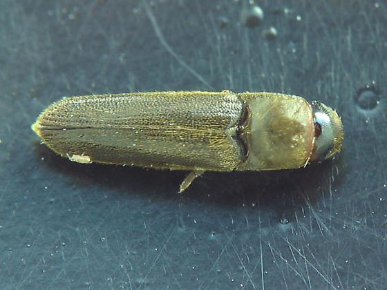 Eucnemid adult! - Dirrhagofarsus ernae