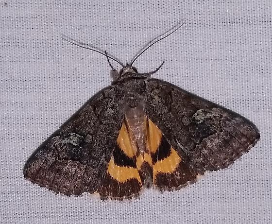 Similar Underwing - Catocala similis