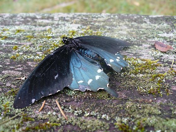 Pipevine swallowtail. - Battus philenor - male