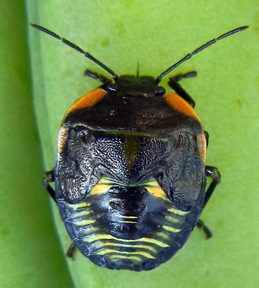 Unknown Shield Beetle - Chinavia hilaris