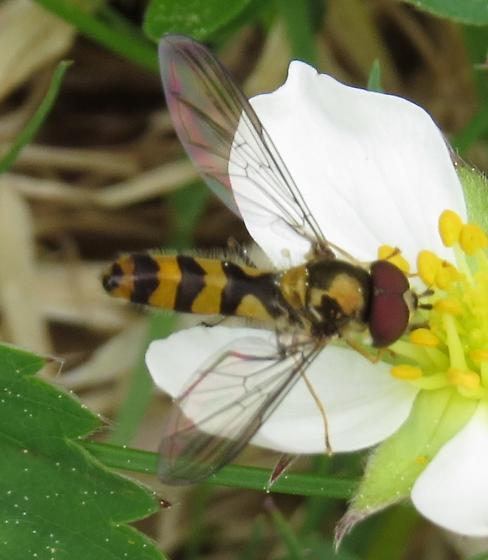 Syrphidae - Meliscaeva cinctella