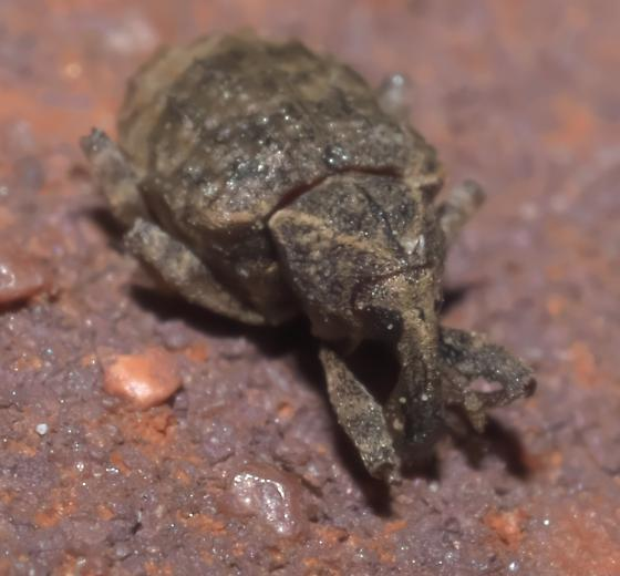 Mottled brown weevil - Conotrachelus seniculus