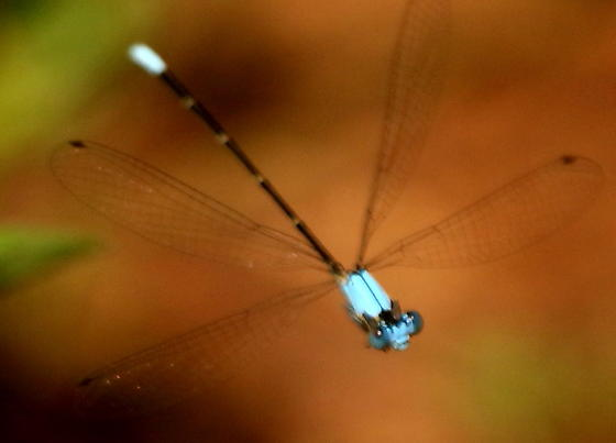 Blue-fronted dancer damselfly - Argia apicalis