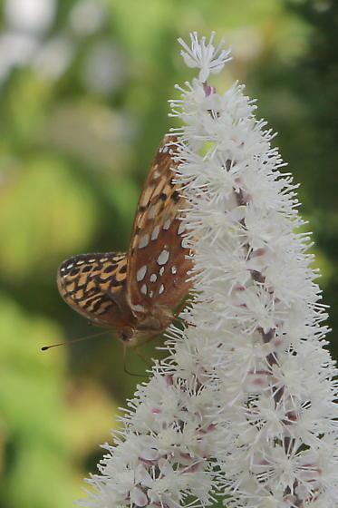 Great Spangled Frittilary? - Speyeria