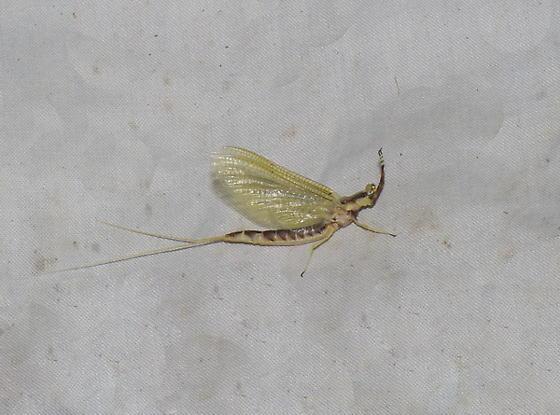 Heptagenioidea sp.
