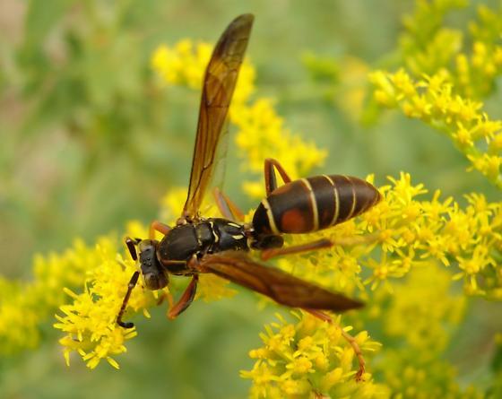 Polistes - but which? - Polistes fuscatus - male