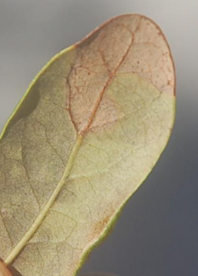 Ding Darling Refuge leaf miner on Quercus pumila maybe D1357 2018 2 - Stigmella
