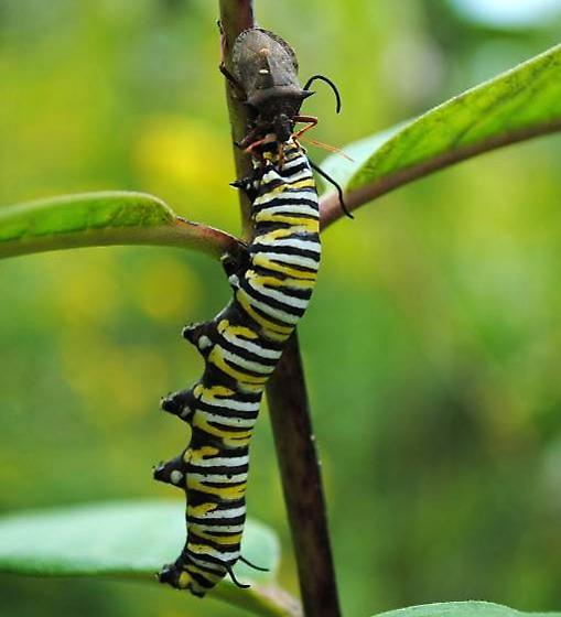 Asopinae (predatory stink bug) sp.? - Picromerus bidens