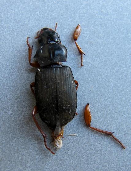beetle - Harpalus rufipes - female