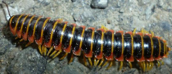 Xystodesmidae - Apheloria virginiensis