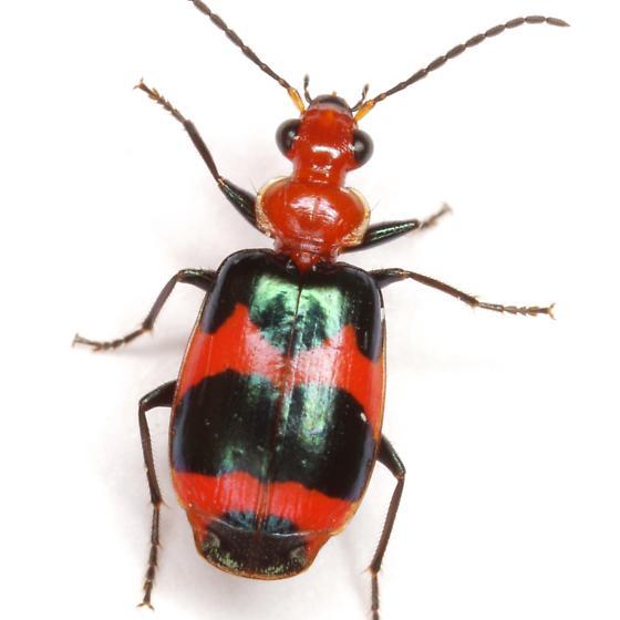 Lebia bitaeniata Chevrolat - Lebia bitaeniata