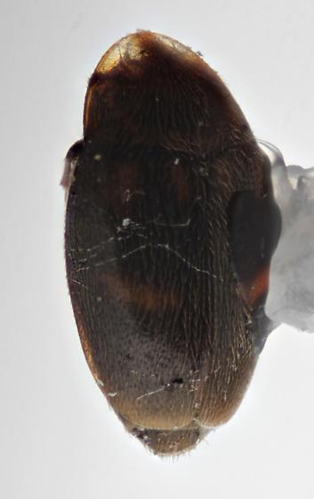 Hooded tiny beetle - Clypastraea sp-one