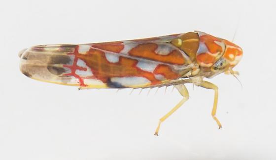 Leafhopper - Erythroneura festiva