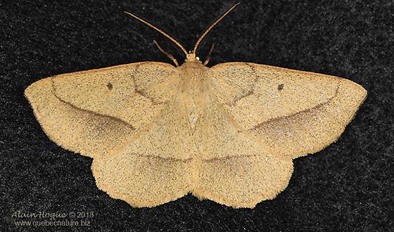 Moth - Euchlaena irraria