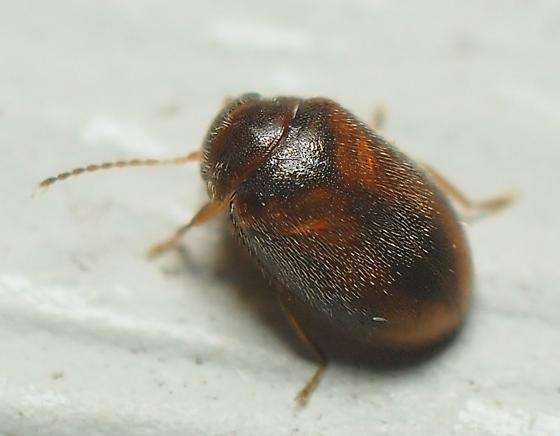Unknown  Beetle - Contacyphon