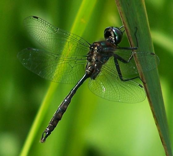 Brush-tipped Emerald - Somatochlora walshii - male