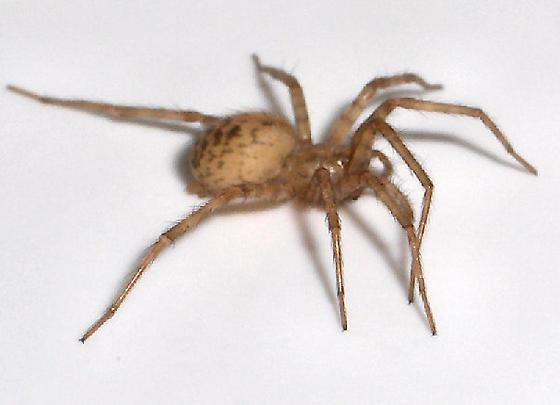 Wonderful Light Brown Spider   Tegenaria Domestica   Female