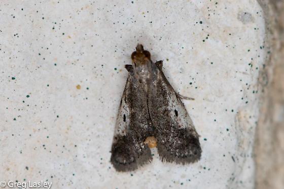 Alpheias oculiferalis