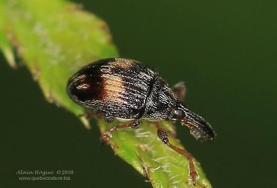Curculionoidea  - Nanophyes marmoratus