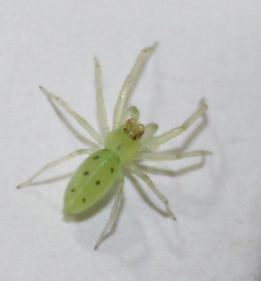 maybe green lynx spider - Lyssomanes viridis
