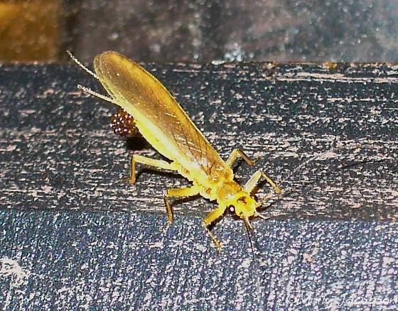 stonefly w/ egg mass?