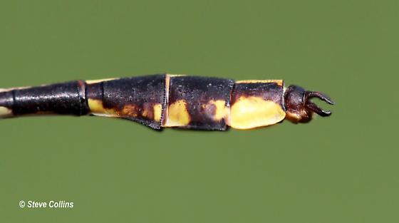 Handsome Clubtail - Gomphurus crassus - male