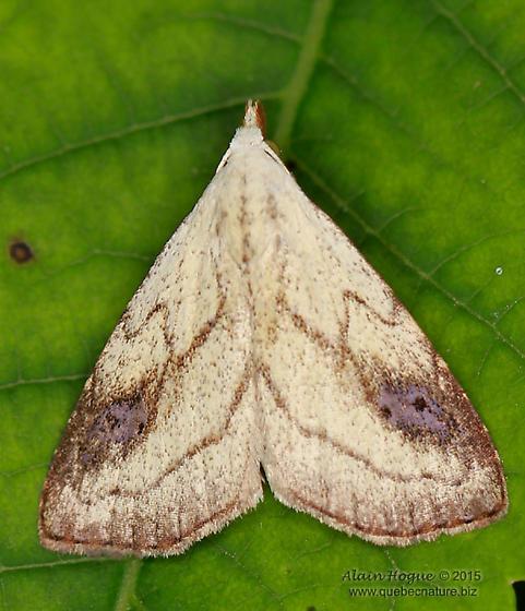 Moth - Rivula propinqualis