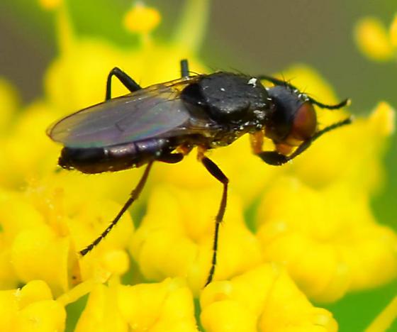 small black fly - Saltella sphondylii