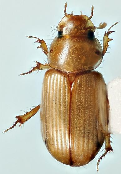aphodiine - Aidophus parcus