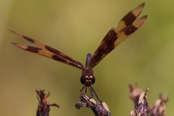Dragonfly ID in Erie - Celithemis eponina