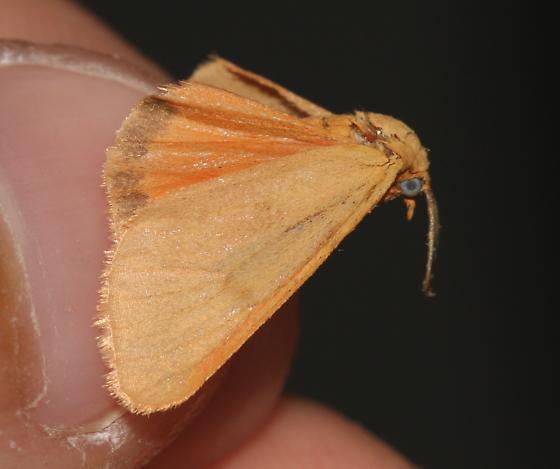 8121 - Virbia aurantiaca