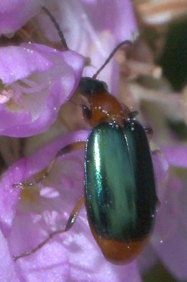 Orange beetle with metallic, blue-green elytra - Lebia viridipennis