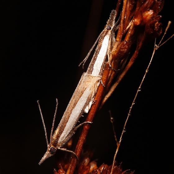 Crambus leachellus - male - female