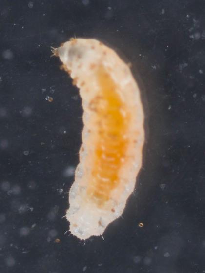 Probable Cecidomyiidae - Coquillettomyia - female