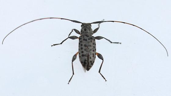 beetle - Hyperplatys aspersa