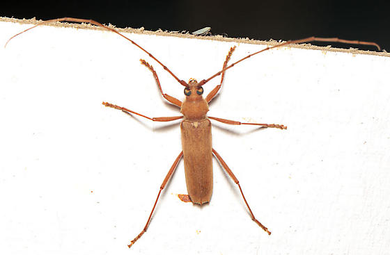 Long-horned beetle - Knulliana cincta