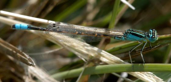 Desert Forktail - near its northeastern range limits in central Kansas. - Ischnura barberi - male